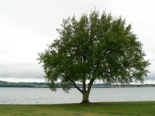 Tree and Lake Taupo
