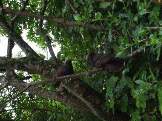 Kaka, Karori Sanctuary