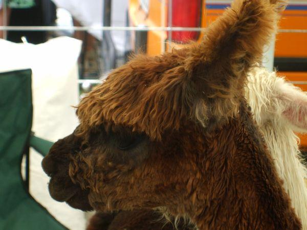 Chocolate Brown Alpaca