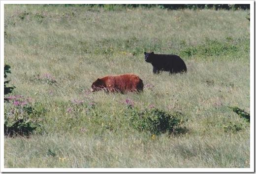 Bears, Alaska