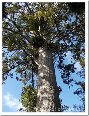 Kauri Tree, Cascade Kauri, Auckland