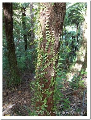 Cascade Kauri Park, Auckland