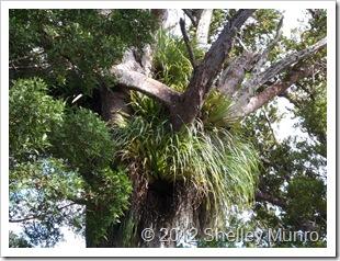 Kauri Tree, Auckland