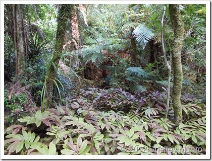 Cascade Kauri, Auckland