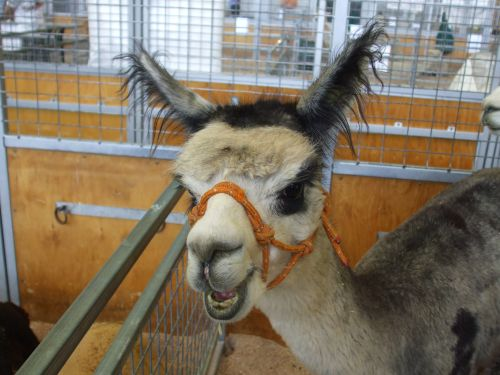 Alpaca at Sydney Royal Show