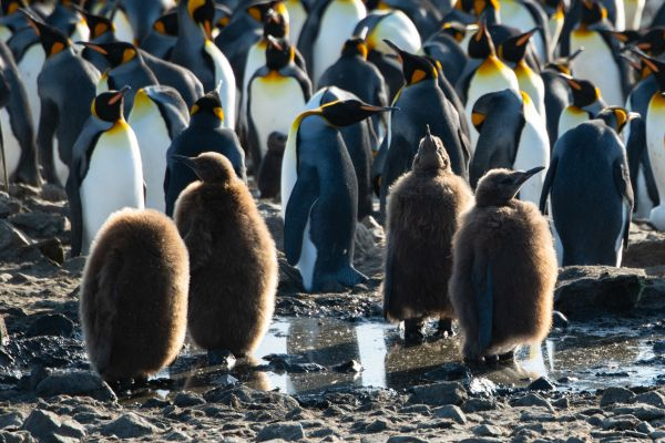 King Penguin chicks and adults in the background