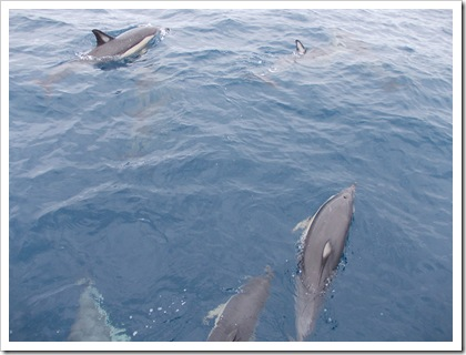 Dolphins, Hauraki Gulf, New Zealand