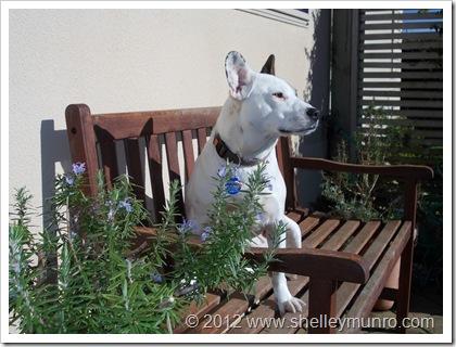 Bella, the puppy suspect!