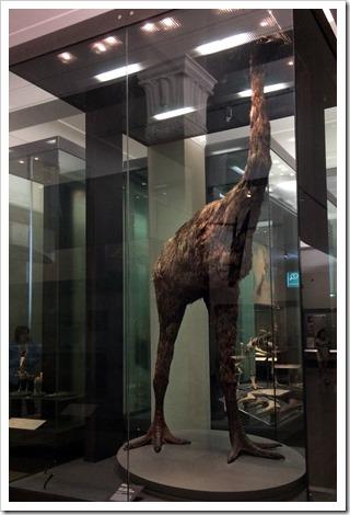 Moa in Auckland Museum