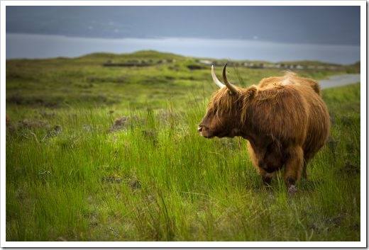 Highland cow standing in a field with a loch in background