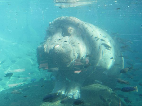 Hippo under water