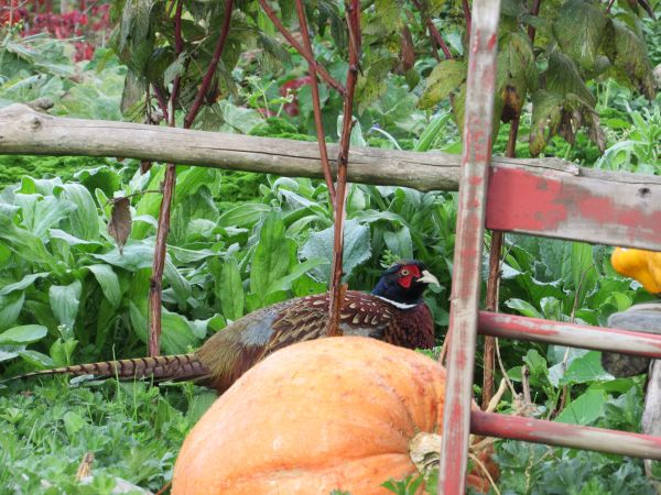 Pheasant in the Vegetable Garden