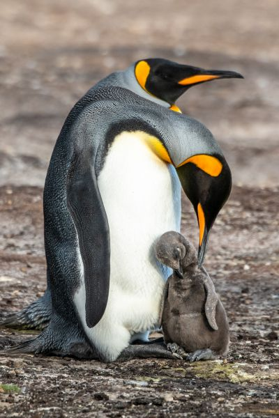 A King Penguin Chick