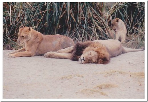 Lion Snooze