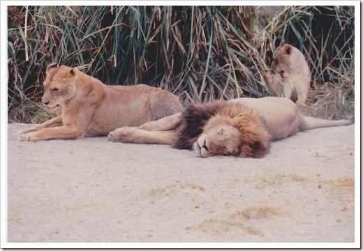 Lion Snooze