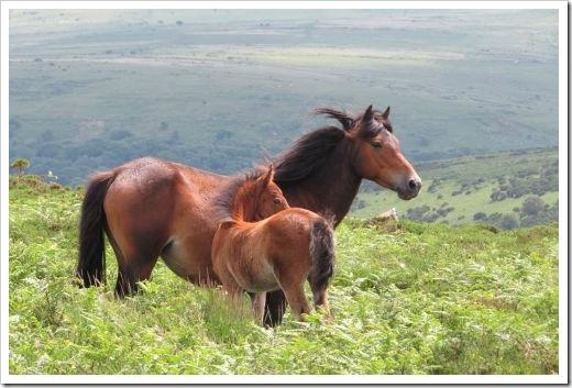 Llama Trek Dartmoor Ponies