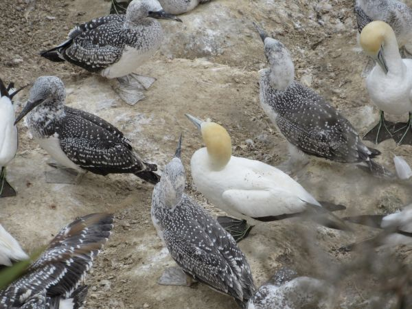 Gannets and Gannet Chicks