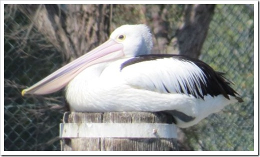 Pelican, Sydney