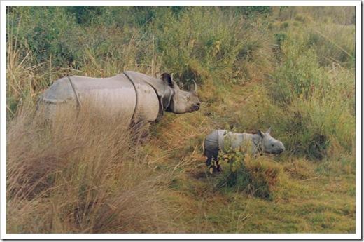 Rhino & baby, Chitwan National Park