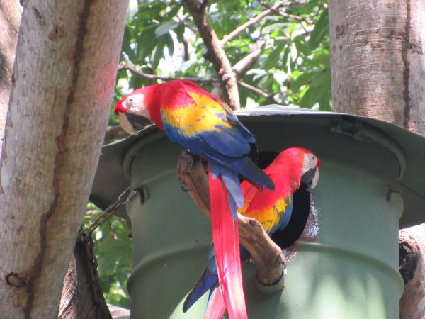 Scarlet Macaw Pair and Nesting Box