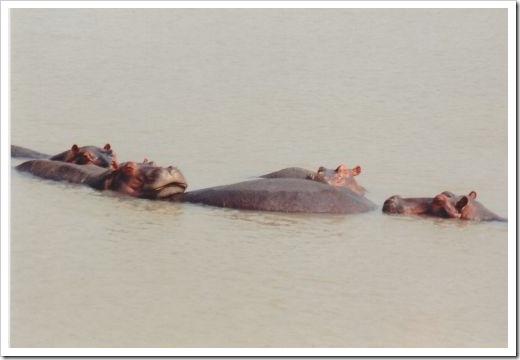 Socializing hippos