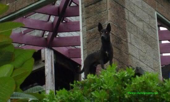 Devil Dog, Tonga