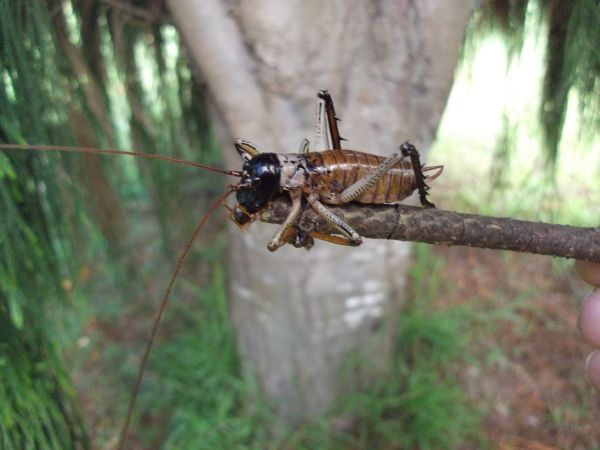 Tree Weta, New Zealand
