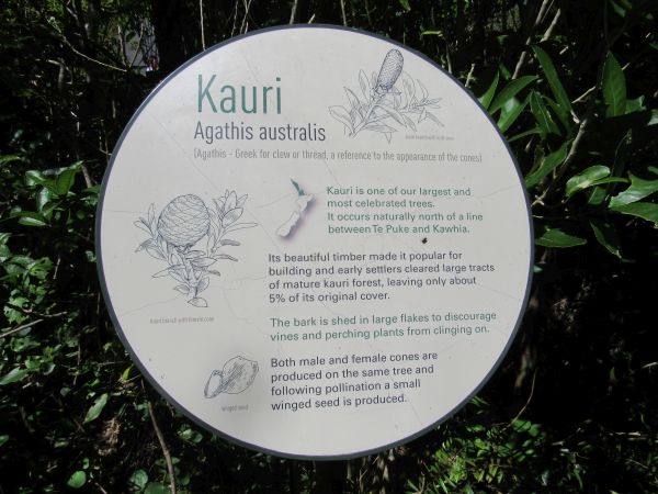 About the kauri tree