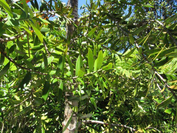 A Young Kauri Tree