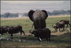 sw elephant & buffalo, Kenya