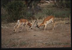 sw gazzelles, Kenya