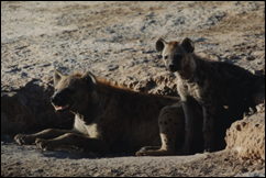 sw hyena, Kenya 1
