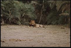 sw lion Kenya